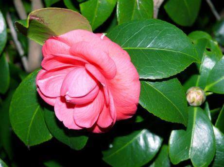 flor-de-mi-camelio-pantin-07-02-2008-020-large.jpg