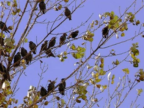 estorninos-f-goiriz-03-11-2007-2-006-26.jpg