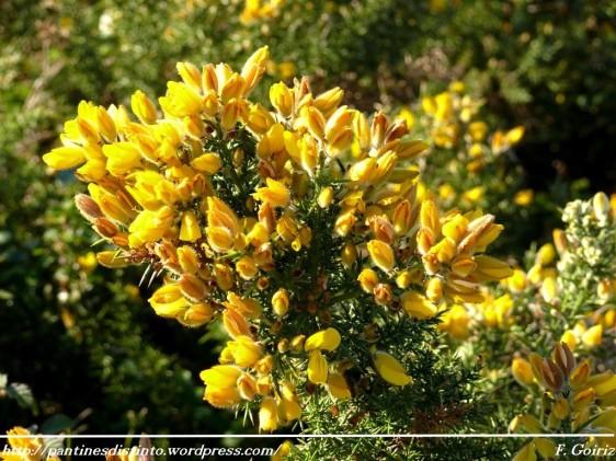 la-flor-del-tojo-a-fror-do-toxo-17-03-2009-f-goiriz-051
