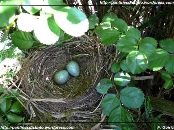 nido-de-mirlos-con-dos-huevos-03-05-09-4-large