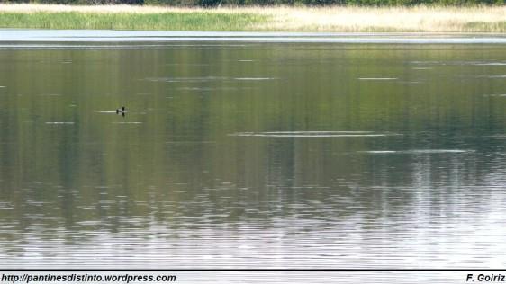 Pato en la Laguna de A Frouxeira - F. Goiriz 20-05-09 (2)