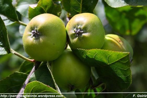 Mazás - Manzanas - Pantín - F. Goiriz