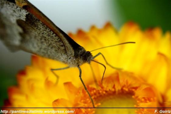 lengua de mariposa - F. Goiriz