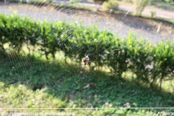 araneus diadematus - araña de jardín - araña de la cruz - foto F. Goiriz (2)