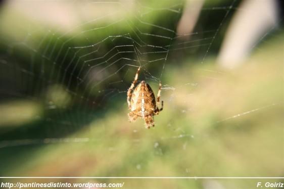 araneus diadematus - araña de jardín - araña de la cruz - foto F. Goiriz (4)