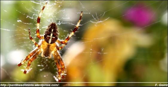 araneus diadematus - araña de jardín - araña de la cruz - foto f. goiriz