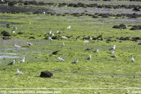 gaviotas en busca de alimento en un mar de algas en A Ribeiroa (Barallobre - Fene) - F. Goiriz 07-09-2009 (2)