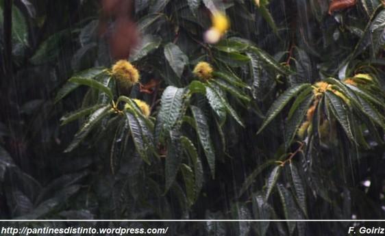 Castaño bajo la lluvia - foto F. Goiriz (Large)