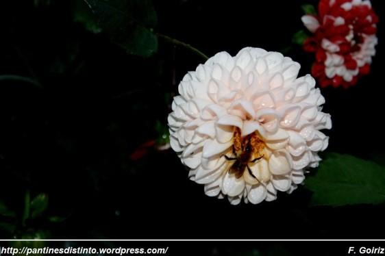 Dalia y avispa - flor nacional de México - foto F. Goiriz (2)