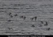 Correlimos común o playero común (Calidris alpina) - Playa de A Magdalena (Cedeira) diciembre 2101 - fotografía por Fermín Goiriz (5)