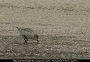 Correlimos común o playero común (Calidris alpina) - Playa de A Magdalena (Cedeira) diciembre 2101 - fotografía por Fermín Goiriz (6)