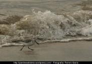 Correlimos común o playero común (Calidris alpina) - Playa de A Magdalena (Cedeira) diciembre 2101 - fotografía por Fermín Goiriz (7)
