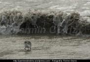 Correlimos común o playero común (Calidris alpina) - Playa de A Magdalena (Cedeira) diciembre 2101 - fotografía por Fermín Goiriz (8)