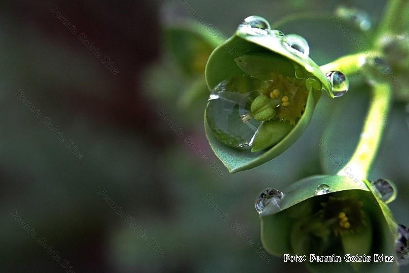 inflorescencia de un planta grasa (Tipo cactus). Posiblemente de un Kalanchoe- En Cedeira - fotografia por Fermin goiriz diaz